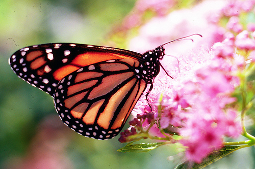 USDA Monarch Butterfly.jpg